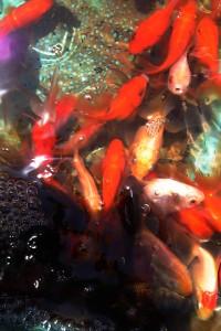 金魚のiPhone壁紙
